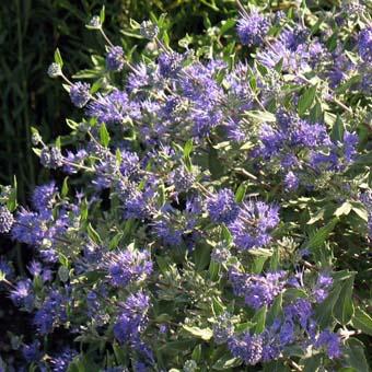 Cataloguevivien for Arbuste persistant a fleurs bleues