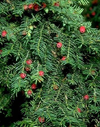 Plante avec boule rouge free voici with plante avec boule rouge catalpa boule with plante avec - Arbuste avec boule rouge ...